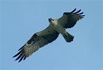 Birds of the Coastal Bend (Osprey, Crow, Pelican) 01-04-04